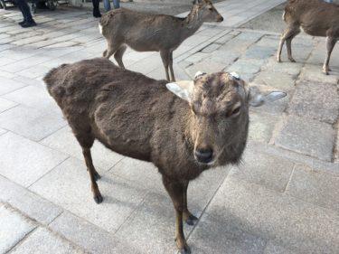 【動画あり】奈良・東大寺に行ったら、鹿が追いかけてきたのでせんべいを投げながら走った話