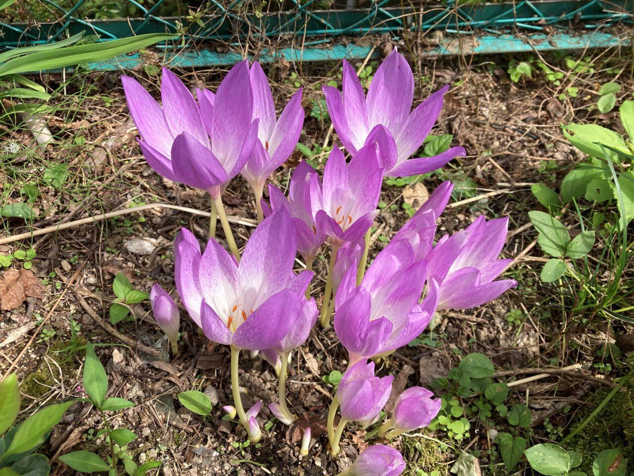 庭に咲いたイヌサフラン